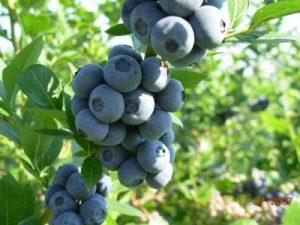 Borówka Amerykańska - Owoce na Sadzonce