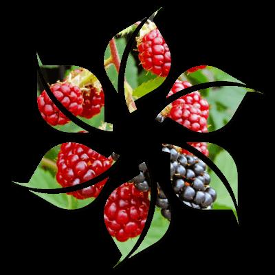 Jeżyna Bezkolcowa - Owoce