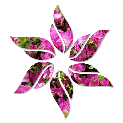 Rhododendron - Różanecznik