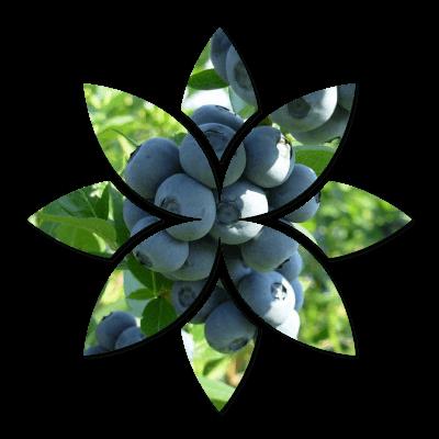 Borówka Amerykańska - Owoce na Krzewie